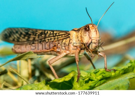 Migratory locust standing on a leaf close-up - stock photo