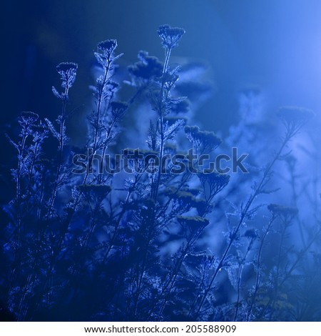 Milfoil (Achillea millefolium) -  plant against the light in the sunset light with blue tint - stock photo