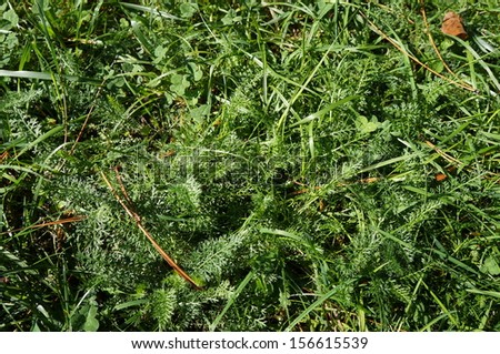 Milfoil background  - stock photo