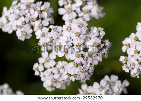 Milfoil inflorescence (macro) - stock photo