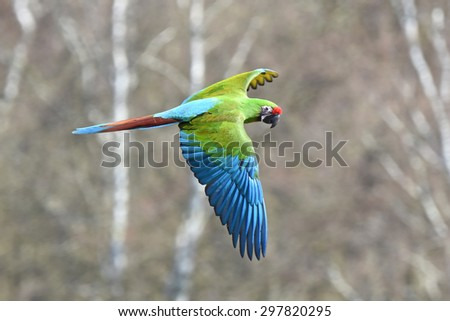 Military Macaw (Ara militaris) in flight with its habitat in the background