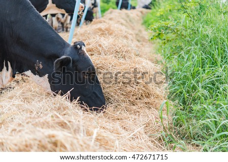Milk cow eat grass in farm with bright sunlight