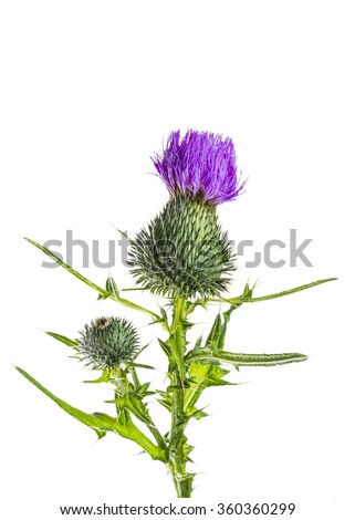 Milk Thistle Flower Isolated on White Background - stock photo