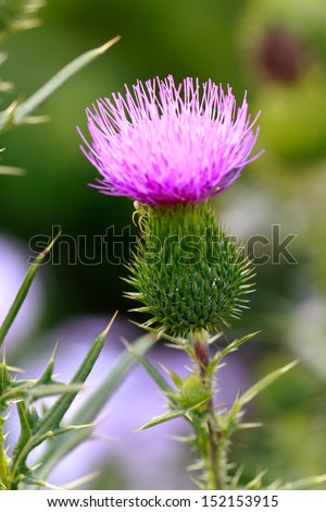 Milk thistle in all its glory  - stock photo
