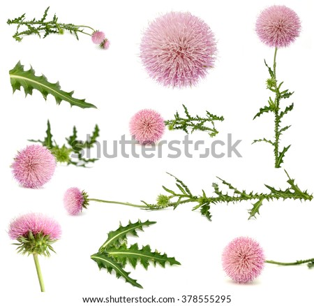 Milk thistle , Silybum marianum - stock photo