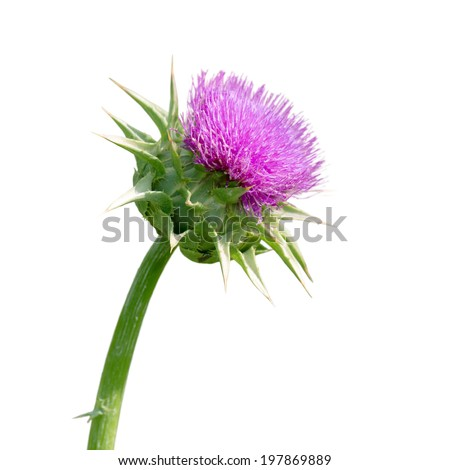 Milk thistle , Silybum marianum, has been used for centuries as an herbal medicine for the treatment of liver disease. - stock photo