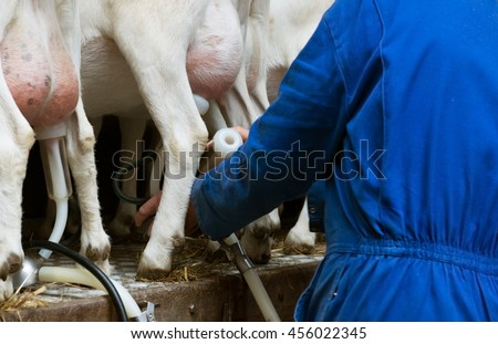 Milking a goat. Man in a uniform attaching milking cluster to the goat's udder