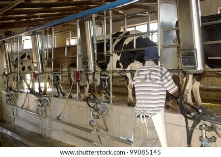Milking Parlor at work - stock photo