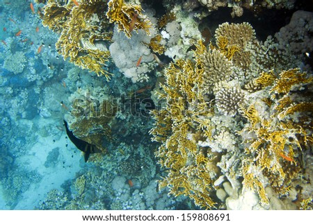 Millepora dichotoma fire hard coral . Underwater life of Red sea in Egypt. Saltwater fishes and coral reef. Sunlight in deep water - stock photo