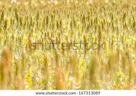 Millet Field - stock photo