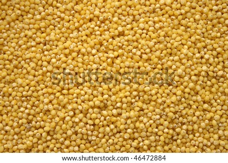 Millet grains for culinary use