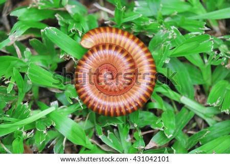 Millipede coiled. Millipede. Millipede in garden.  Millipede one - stock photo