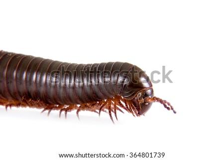 Millipede, Myriapoda isolated on white background - stock photo