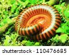 Millipede on a green leaf - stock photo