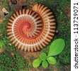 Millipede on floor with green plant - stock photo