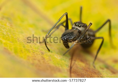 mimic ant spider - stock photo