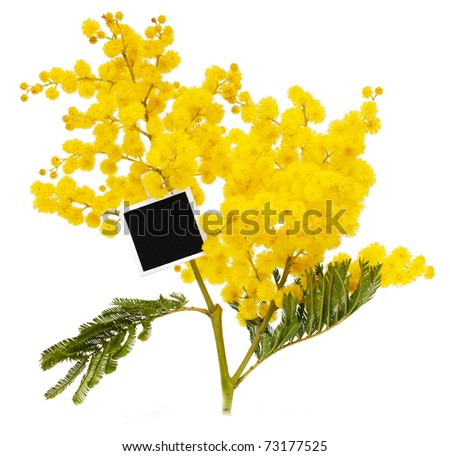 mimosa and message card - stock photo