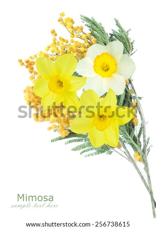 Mimosa and narcissus flowers isolated on white background with sample text - stock photo