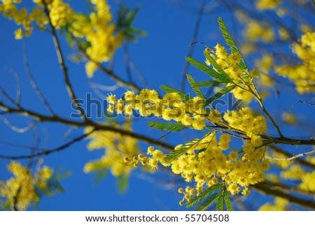 mimosa branch with blue sky - stock photo