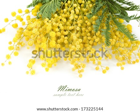 Mimosa flowers branch isolated on white background with sample text