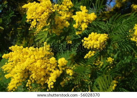 Mimosa for Women's Day - stock photo