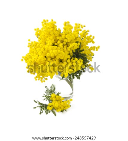 mimosa in a glass glass vase isolated on white background - stock photo