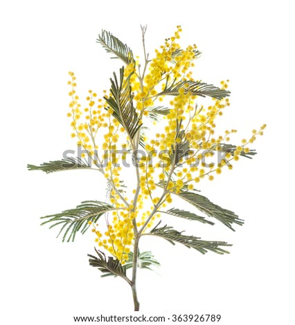 Mimosa isolated on white background . Shallow depth of field - stock photo