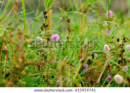 Mimosa Pudica flower, also called sensitive plant