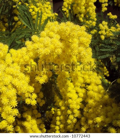 Mimosa's flowers