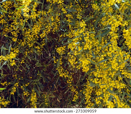 Mimosa Spring Flowers Easter background. Blooming mimosa tree over blue sky. - stock photo