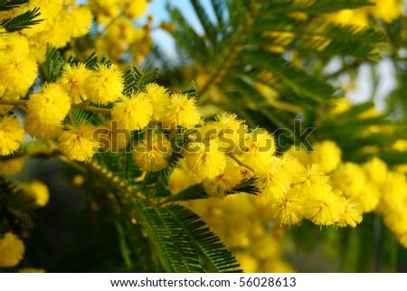 Mimosa Tree - stock photo