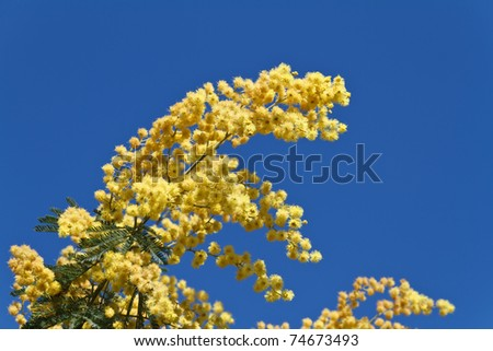 mimosa tree with blue sky as background - stock photo