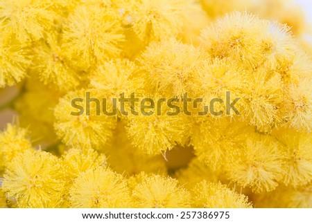 mimosa, Women's Day - stock photo