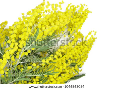Mimosa yellow flowers bush floral spring stock photo royalty free mimosa yellow flowers bush floral spring background isolated on white background mightylinksfo