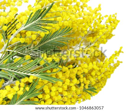 Mimosa yellow flowers bush floral spring stock photo 100 legal mimosa yellow flowers bush floral spring background isolated on white background mightylinksfo