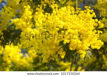 Mimosa yellow spectacular blossom on blue sky