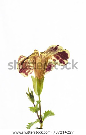 mimulus  flower isolated