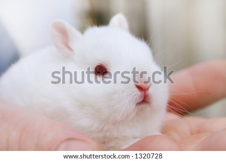 Minature Rabbit