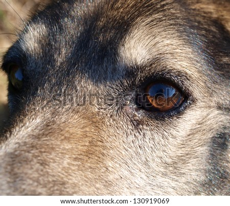 Mind and psychological state of sadness is reflected in the eyes of a dog-wolf.