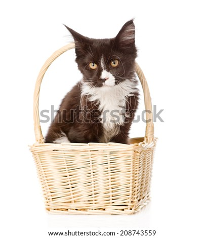 Mine Coon cat in basket looking at camera. isolated on white background - stock photo