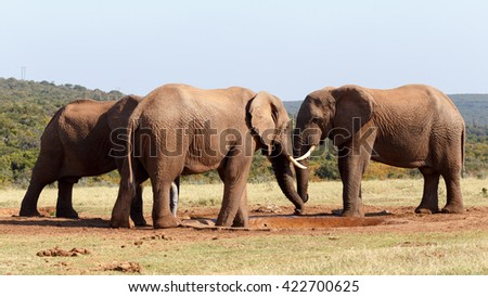 Mine is bigger then yours.. - The African bush elephant is the larger of the two species of African elephant.