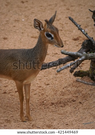 Mini antilope Dik-Dik - stock photo