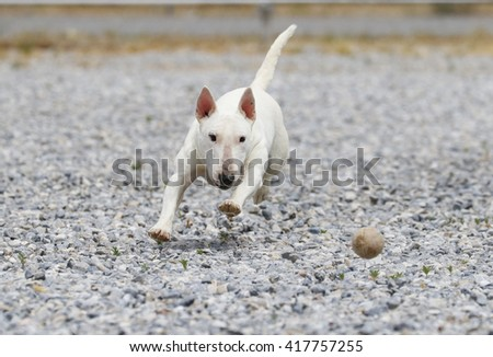Mini bull terrier chasing a ball in the rocks