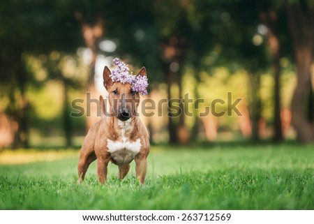 mini bull terrier  with a wreath on head - stock photo