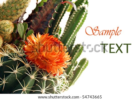 Mini cactus garden on white background with copy space.  Macro with shallow dof. - stock photo