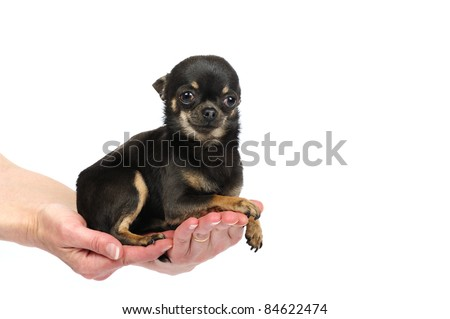 Mini chihuahua dog in woman hands in studio in front of a white background