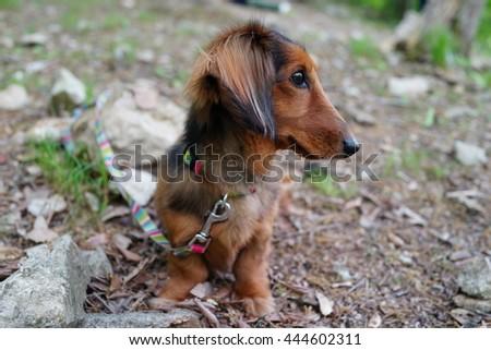 mini-dachshund outside - stock photo
