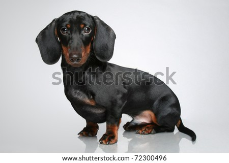 Mini dachshund, portrait on a grey background - stock photo