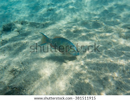 Mini-fin parrotfish (Scarus Altipinnis) looking for a food - stock photo