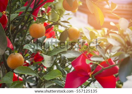 Mini mandarin orange tree with red ribbon. for Lunar Chinese new year